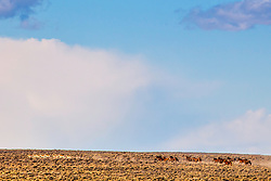 A band of Mustangs chasing a herd of Pronghorn Antelope. Of course the chase didn't last long as the pronghorn are the fastest animal in North America.  It sure was a fun surpass to watch and document.
