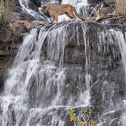 Mountain Lion (Felis concolor) at a waterfall in the canyonlands of Utah. Captive Animal