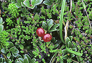 Bearberry (Arctostphylos uva-ursi) Low-growing, mat-forming and evergreen undershrub. Found on dry moorland and mountain slopes. FLOWERS are 5-6mm long, urn-shaped and pink; borne on short stalks and in clusters (May-Aug). FRUITS are shiny, bright red berries, 7-9mm across. LEAVES are oval, untoothed and leathery; they are dark green and shiny above but paler below.
