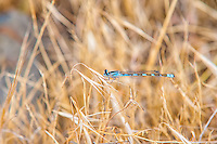 Another member of the bluet group of damselflies, the river bluet is found infrequently through the western states and provinces of North America as well and the Midwest. The one shown here was photographed in a dry field in the Columbia Gorge, which separates Oregon from Washington.