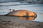 a male northern elephant seals, Mirounga angustirostris, lies at water's edge on the beach at Piedras Blancas, near San Simeon, California, United States ( Eastern Pacific Ocean ) at sunset, probably getting wet to cool himself off; a pair of Heermann's gulls wander the shoreline behind the seal