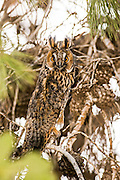 Long-eared Owl (Asio otus) camouflaged in a tree. This owl inhabits woodland near open country throughout the northern hemisphere. It is strictly nocturnal and feeds mainly on small mammals such as mice and voles Photographed in Israel in July