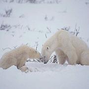 Polar Bear (Ursus maritimus) Mother and cub looking down at dead cub in snow. Cape Churchill. Manitoba. Canada. Winter.