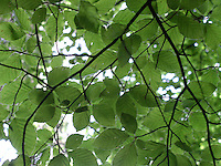 light through green leaves