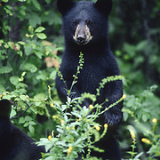 A young black bear (Ursus maritimus) cub stands up on its hind legs to get a better view. Minnesota