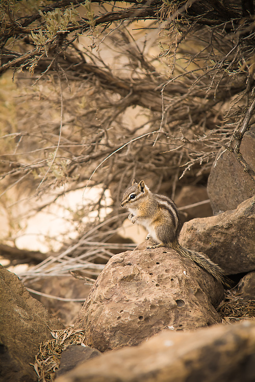 This smallest member of the chipmunk family in North America is found in coniferous forests, juniper woodlands, and sagebrush deserts where it feasts on mostly seeds, but will also eat flowers, buds, leaves, grasses, fungi, and even insects, eggs, and carrion!