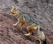 """The Culpeo (Lycalopex culpaeus), sometimes known as the Andean Wolf (Spanish: Lobo), or (Common) Andean Fox, or Patagonian Fox, is a South American species of wild dog, seen here at the mountain refuge """"José Ribas"""" on the north face of the Cotopaxi Volcano at 4800 meters (15,750 feet) of altitude in Ecuador. The Culpeo is the second largest native canid in South America after the Maned Wolf. In its appearance it bears many similarities to the widely recognized red fox. It has grey and reddish fur, a white chin, reddish legs, and a stripe on its back that may be barely visible.  Its distribution extends from Ecuador and Peru to the southern regions of Patagonia and Tierra del Fuego. It is most common on the western slopes of the Andes, where it inhabits open country and deciduous forests. The Culpeo's diet consists largely of rodents, rabbits, birds and lizards, and to a lesser extent, plant material and carrion. The Culpeo does attack sheep on occasion, and is therefore often hunted or poisoned. In some regions it has become rare, but overall the species is not threatened with extinction. Cotopaxi National Park (Spanish: Parque Nacional Cotopaxi) is a protected area in Ecuador in the Cotopaxi Province, Napo Province and Pichincha Province. Cotopaxi is a stratovolcano in the Andes Mountains, located about 75 kilometers (50 miles) south of Quito, Ecuador, South America. It is the second highest summit in Ecuador, reaching a height of 5,897 m (19,347 ft)."""