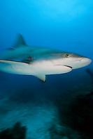 Caribbean Reef Shark, movement