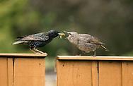 Starling - Sturnus vulgaris - adult feeding fledgling