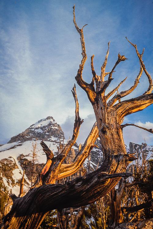 Grand Teton and weathered tree snag, morning light, Grand Teton National Park, Wyoming, USA
