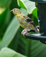 American Goldfinch. Image taken with a Fuji X-T4 camera and 100-400 mm OIS lens.