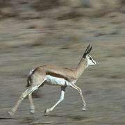 Springbok, (Antidorcas marsupialis) Young running across Kalahari Desert. Africa.
