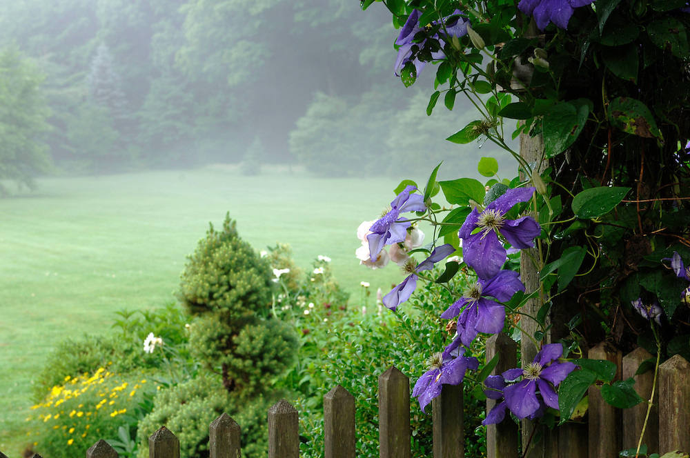 CLEMATIS 'JACKMANII' GROWS ON AN ARBOR IN THE MORNING DEW