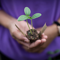 a young farmer holds a small plant ready for transplanting in Cambodia