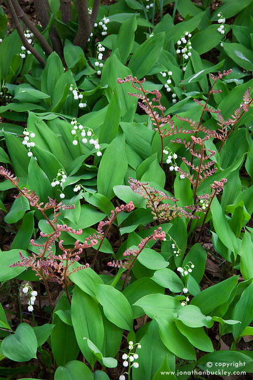 Combination of new shoots of Dryopteris erythrosora emerging through a carpet of Convallaria majalis, Lily-of-the-valley