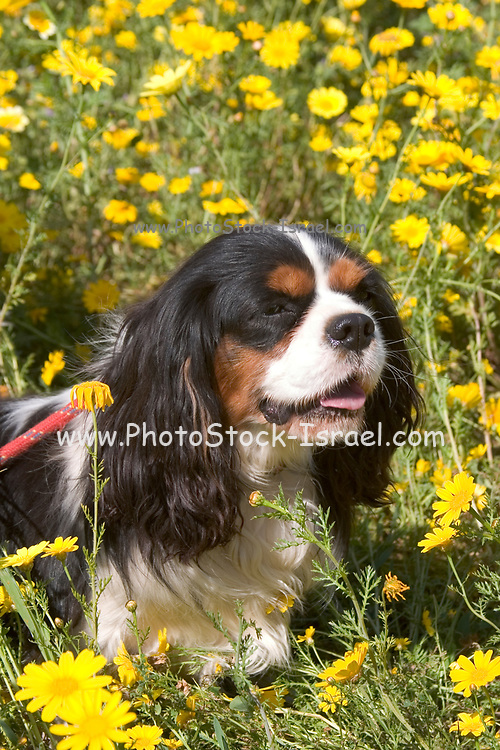 The King Charles Spaniel (also known as the English Toy Spaniel) is a small dog breed of the spaniel type. In 1903, the Kennel Club combined four separate toy spaniel breeds under this single title.