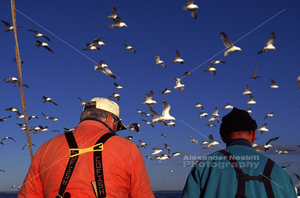 USA, Newport RI - Trap fishing crew from the Aquidneck lobster company dumps unwanted by-catch to a waiting flock of gulls.