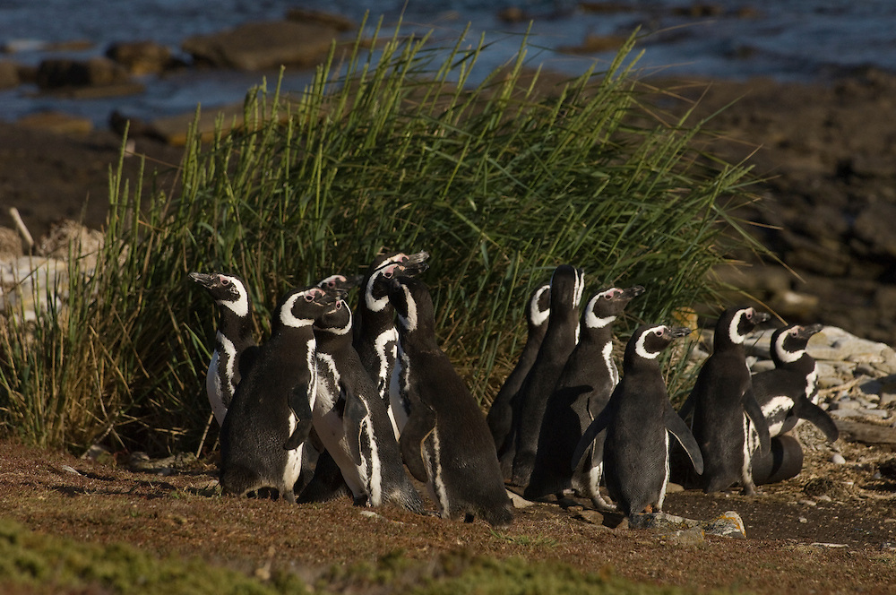 Magellanic Penguins (Spheniscus magellanicus)<br /> West Point Island. Off north coast of West Falkland. FALKLAND ISLANDS.<br /> RANGE: Juan Fernandez Island in Pacific, Islands along coast of Southern Chile to islands off Cape Horn, South Atlantic coast of Argentina up to Valdez Peninsula and Falkland Islands.<br /> These penguins are migrants and breed in the Falklands. They are fairly widely distributed in the Falklands. They nest in burrows beneath tussock pedestals. Breeding begins mid October. Incubation is 38-41 days and young are fully moulted by late January. Adults will vacate the site after their moult in March. They feed extensively on schooling fish and squid.