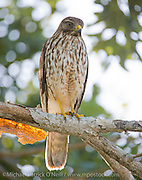 A Red Shouldered Hawk, Buteo lineatus, perches on a branch in Everglades National Park in South Florida. This raptor, found near wetlands, preys on small birds, reptiles and mammals.