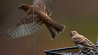 Juvenile Brown-headed Cowbird?. Image taken with a Nikon D4 camera and 600 mm f/4 VR telephoto lens