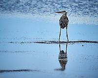 Great Blue Heron.  Biolab Road, Merritt Island National Wildlife Refuge. Image taken with a Nikon D800 camera and 400 mm f/2.8 lens (ISO 360, 400 mm, f/5.6, 1/1600 sec).