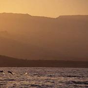 Common Dolphin, (Delphinus delphis) Sea of Cortez. Baja, Mexico.