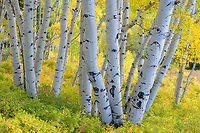 Intimate landscape of autumn color in a mature aspen grove in Colorado.