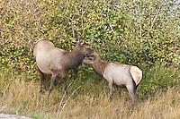 Elk (Cervus elaphus)  Cow and her calf during the autumn season, Colorado.