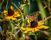 Pearl Crescent (Phyciodes tharos) on a Black-Eyed Susan Flower.  Image taken with a Nikon 1 V3 camera and 70-300 mm VR lens (ISO 200, 300 mm, f/5.6, 1/125 sec).