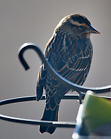 Red-winged Blackbird (Agelaius phoeniceus). Image taken with a Nikon D850 camera and 600 mm f/4 VR lens.