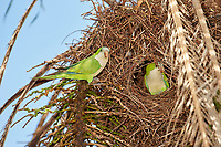 Monk Parakeet (Myiopsitta monachus) at nest, The Pantanal, Mato Grosso, Brazil