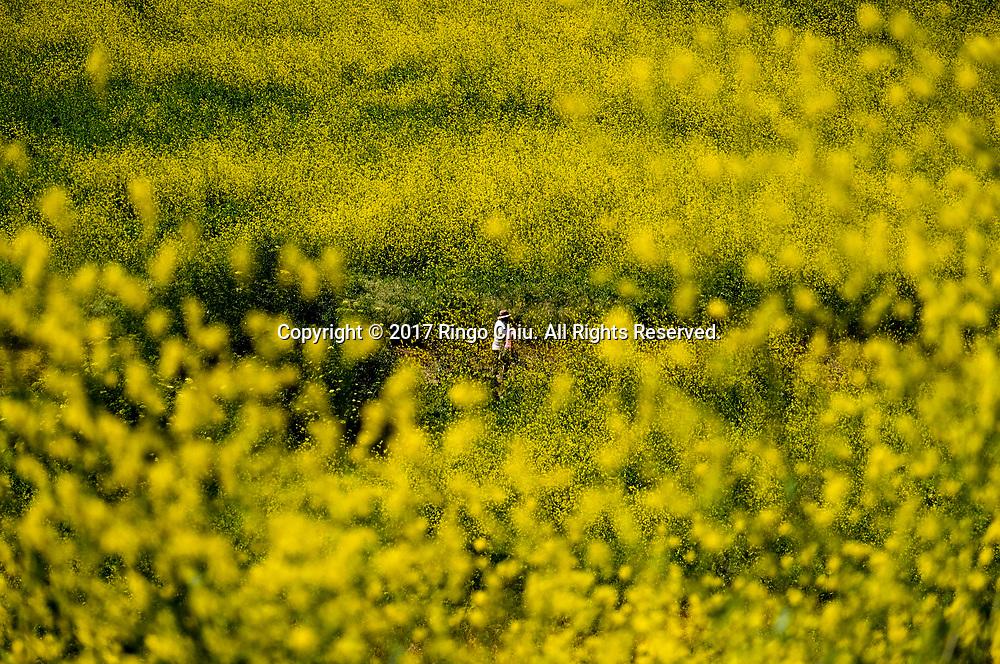 4月15日,美国南加州奇诺山州立公园芥末花盛开。乾旱多年的加州,在经历了几场暴风雨的洗礼后,处处野花盛开。新华社发 (赵汉荣摄)<br /> Mustard flowers bloom at Chino Hills State Park in Chino Hills, California, the United States, on April 15, 2017 amid an explosion of wildflowers blooming across southern California following this winter's rain after a severe five-year drought. (Xinhua/Zhao Hanrong)(Photo by Ringo Chiu/PHOTOFORMULA.com)<br /> <br /> Usage Notes: This content is intended for editorial use only. For other uses, additional clearances may be required.