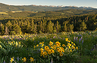 The mountainside next to Red Grade Road is currently filled with colorful wildflowers. I stopped on my way back from a hike to capture them in the evening light.