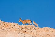female and young Nubian Ibex (Capra ibex nubiana), Judaean Desert, Israel