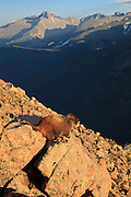 USA, Colorado, Rocky Mountain National Park, Yellow-bellied Marmot (Marmota flaviventris) at Forest Canyon Overlook