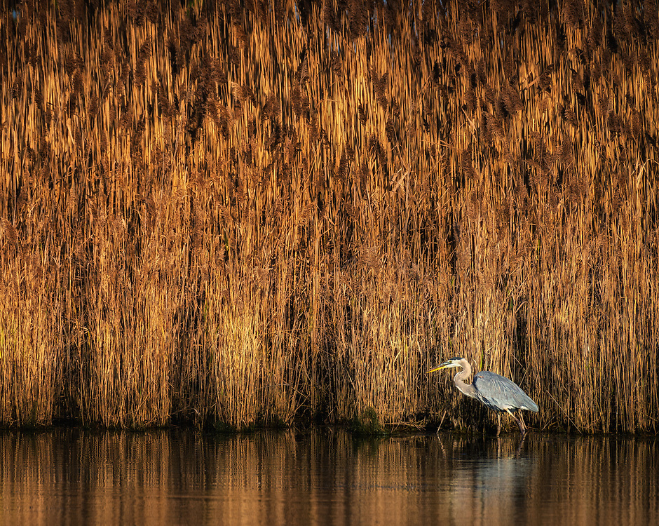 Great Blue Heron in morning light at the Terrapin Nature Park on the Eastern Shore of Maryland.