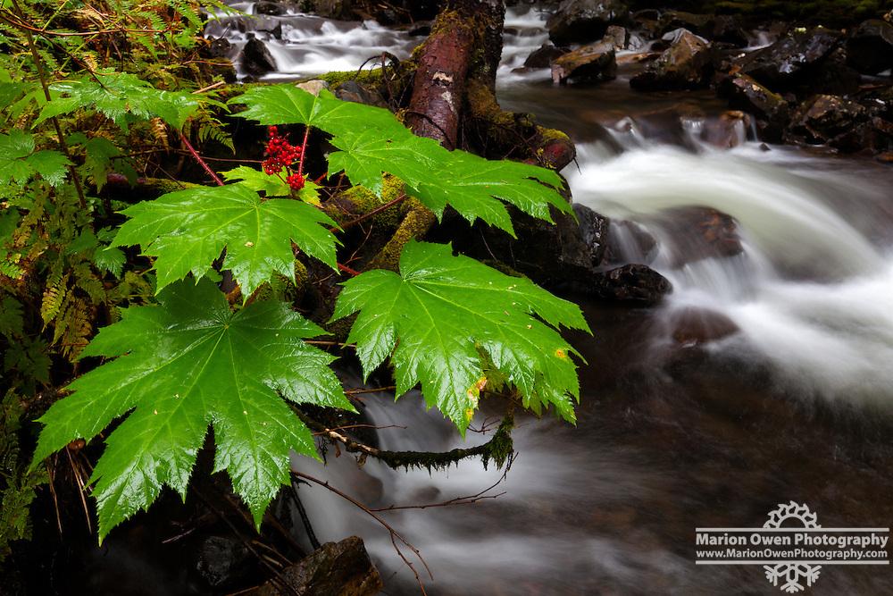 Leaves of a Devil's Club plant, a ginseng, hangs over rain-swollen creek in Kodiak, Alask