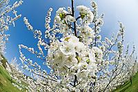 Springtime Cherry trees in bloom, Franconia, Bavaria, Germany