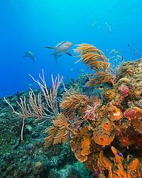 Caribbean Reef Sharks, Carcharhinus perezii, swimming over coral reef, West End, Grand Bahama, Bahamas, Caribbean, Atlantic Ocean