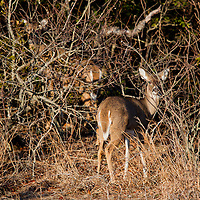 A small population of WhiteTail Deer have taken residence at Sandy Hook National Gateway Recreation area in New Jersey