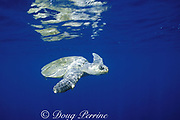 olive ridley sea turtle, male, Lepidochelys olivacea, Costa Rica, Central America ( Eastern Pacific Ocean )