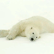 Polar Bear (Ursus maritimus) a large male stretches after a nap in the willows at Cape Churchill, near Churchill, Manitoba. Canada, November.