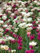 Spring in Missouri, Govenor's Mansion flowerbed