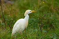 Cattle Egret (Bubulcus ibis), Arthur R Marshall National Wildlife Reserve - Loxahatchee, Florida, USA