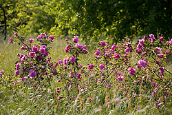 Rose growing amongst meadow grass in the Orchard at Sissinghurst Castle garden