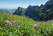 Alpine wildflowers in Meglisalp on Rotsteinpass trail, in the Alpstein limestone mountain range, Appenzell Alps, Switzerland, Europe. Appenzell Innerrhoden is Switzerland's most traditional and smallest-population canton (second smallest by area).