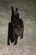 A lone bat roosting in the limestone caves of Gunung Mulu National Park, Borneo.