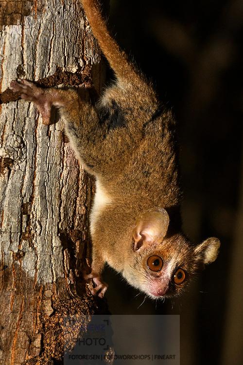 Der Graue Mausmaki (Microcebus murinus), Kirindy, Madagaskar<br /> <br /> The gray mouse lemur (Microcebus murinus), Kirindy, Madagascar