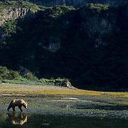Alaskan Brown Bear, (Ursus middendorffi) Adult walking along tidal flats. Alaskan Peninsula.