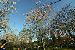 August 6, 2017 - SâO Paulo, São paulo, Brazil - Detail of cherry blossoms in full bloom at Carmo Park on 6st August, 2017 in Sao Paulo, Brazil. (Credit Image: © Cris Faga via ZUMA Wire)